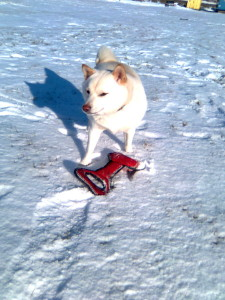 Shiba Inu in Winter